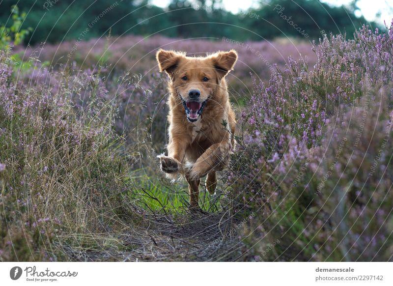 Ungebremst Freude Umwelt Natur Landschaft Pflanze Tier Sonnenlicht Sommer Blume Gras Sträucher Blüte Heide Park Haustier Hund Tiergesicht Fell Krallen Pfote