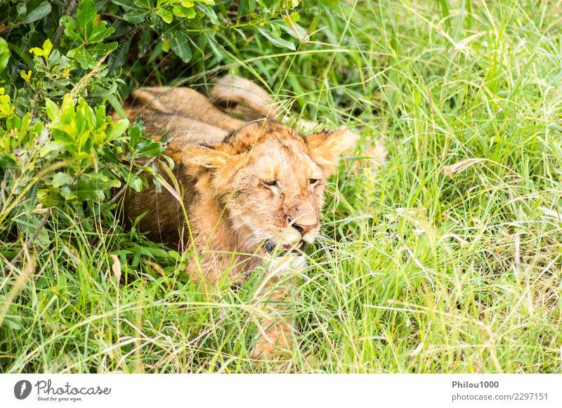 Junger Löwe im Schrubben versteckt Safari Baby Mann Erwachsene Mutter Menschengruppe Natur Tier Urwald Pelzmantel Katze klein natürlich wild gefährlich Afrika