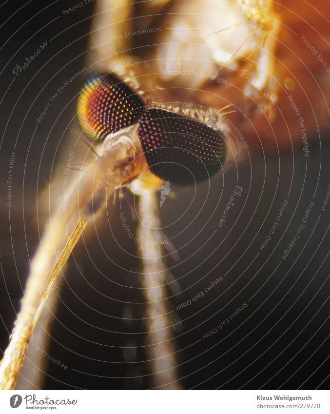 Kopf einer Stechmücke unter dem Mikroskop exotisch Tier Totes Tier Tiergesicht 1 gruselig gold grün Imago Facettenauge Saugrüssel Mikrofotografie Blutsauger