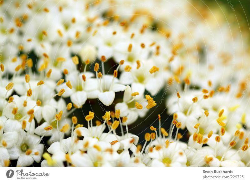 Pollenteppich Natur weiß Pflanze Blume Sommer gelb Umwelt Blüte Blühend Duft Geruch exotisch Stempel verblüht Makroaufnahme