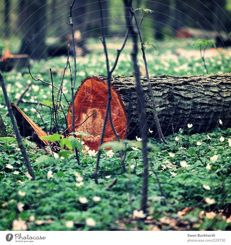 Des einen Ende - Des anderen Anfang Umwelt Natur Pflanze Frühling Klima Baum Blume Gras Sträucher Nutzpflanze Wildpflanze Kiefer Nadelbaum Wald Holz beobachten