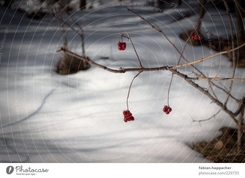 Letzte Früchte Natur Wasser Pflanze Winter Herbst kalt Schnee Umwelt Gras Frühling Frucht Sträucher Beeren Gift Grünpflanze Zweige u. Äste