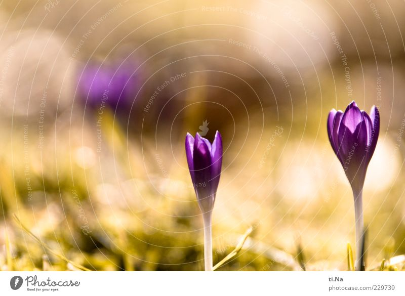 von der Sonne geknutscht Umwelt Natur Frühling Schönes Wetter Pflanze Blume Krokusse Blühend Duft Wachstum hell schön gelb grün violett Glück Frühlingsgefühle
