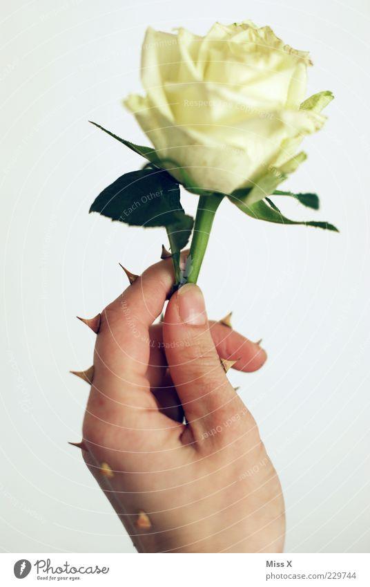 Dornen Hand weiß Pflanze Blume Blatt Blüte Finger Wachstum außergewöhnlich Rose Spitze stoppen Schutz Blühend Stengel skurril