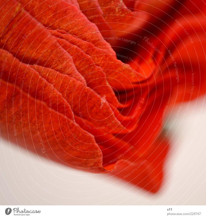 geblättert... schön Pflanze rot Blume Frühling nah Duft Textfreiraum fein Anschnitt Blütenblatt Ranunkel Frühlingsblume Makroaufnahme abstrakt