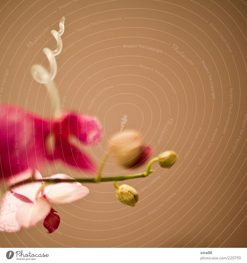 gewunden Pflanze Blume Blüte braun rosa elegant Stengel exotisch Blütenknospen Spirale Orchidee Blütenblatt Topfpflanze