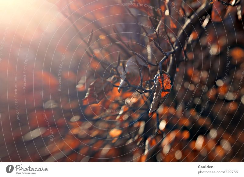 Braune Molekularbewegung Natur Baum Sonne Blatt ruhig Herbst glänzend Beginn ästhetisch Wandel & Veränderung Ast trocken Herbstlaub vertrocknet Lichtspiel