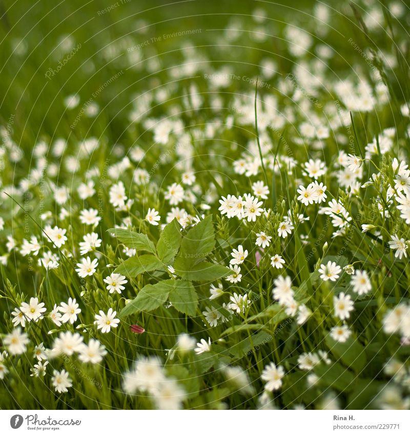 Frühlingswiese Natur Pflanze grün weiß Blume Umwelt Blüte Frühling Wiese Gras natürlich Glück Idylle Fröhlichkeit Blühend Lebensfreude