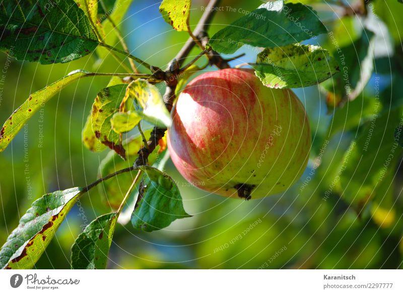 reifer Apfel am Baum Frucht Gesunde Ernährung Leben Garten Natur Blatt Essen genießen hängen Wachstum Duft frisch Gesundheit lecker nachhaltig natürlich rund