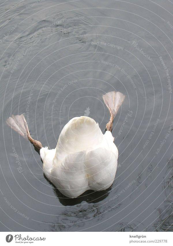 Tiefgründig Natur Wasser weiß Tier grau nass ästhetisch tauchen Flüssigkeit Fressen Schwan Nahrungssuche kopfvoran Schwimmhaut Höckerschwan