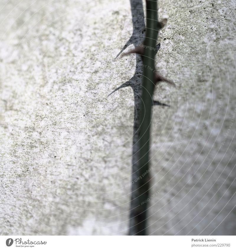 peaky Natur Pflanze Spitze stachelig Dorn Rose Stengel Wand grau Wachstum Vorsicht dünn lang Mauer Beton Farbfoto Gedeckte Farben Außenaufnahme Nahaufnahme