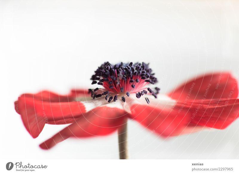 Rote Anemone weiß Blume rot schwarz Blüte Frühling elegant weich Stengel Blütenblatt Stauden Staubfäden Anemonen verwundbar Hahnenfußgewächse