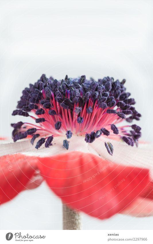 rot weiße Anemone Frühling Blume Blüte Anemonen Stauden Hahnenfußgewächse Blütenblatt Stengel Staubfäden schön weich rosa schwarz zart Farbfoto Studioaufnahme