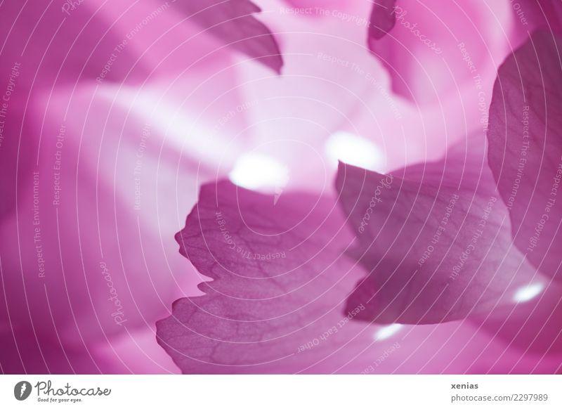 Licht in der Kirschblüte weiß Blüte Frühling rosa leuchten weich Blütenblatt Lichtpunkt Kirschblüten Zierkirsche