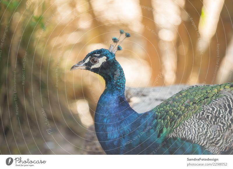 A beautiful peacock with a soft background Natur Pflanze Landschaft Tier Wald Umwelt Wiese Garten Park frei Feld elegant Wildtier Freundlichkeit Neugier Urwald