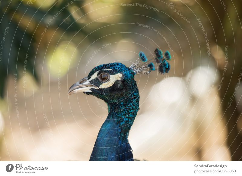 A beautiful peacock with a soft background Natur Tier Wald Wiese natürlich Garten Park Feld elegant Wildtier ästhetisch niedlich Neugier Urwald horizontal