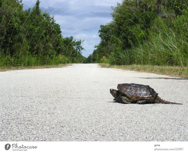 Das kann dauern lang langsam krabbeln schildlkröte Straße Wege & Pfade