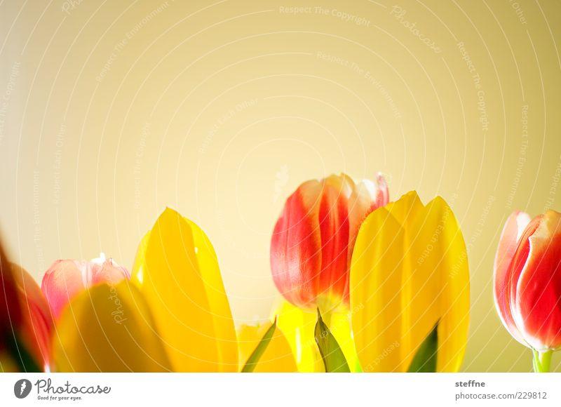Frauentag Blume schön Kitsch Tulpe Frühling Blumenstrauß Romantik Farbfoto mehrfarbig Innenaufnahme Textfreiraum oben Detailaufnahme Hintergrund neutral