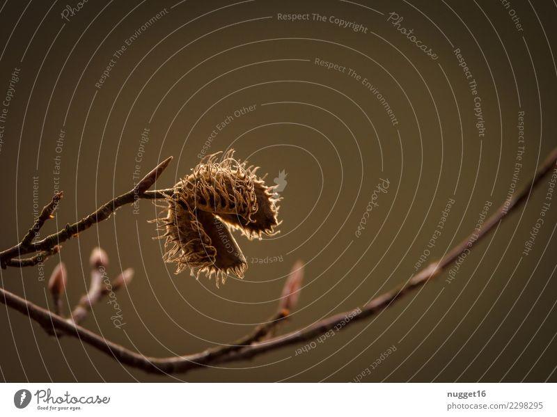 Buchecker Umwelt Natur Pflanze Sonnenlicht Sommer Herbst Schönes Wetter Baum Sträucher Grünpflanze Wildpflanze Park Wald ästhetisch authentisch dunkel einfach