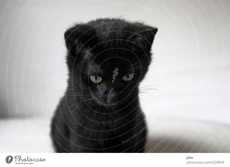 mein kleiner schwarzer kater Tier Haustier Katze Tiergesicht Fell 1 Tierjunges weiß Farbfoto Innenaufnahme Menschenleer Textfreiraum links Textfreiraum rechts