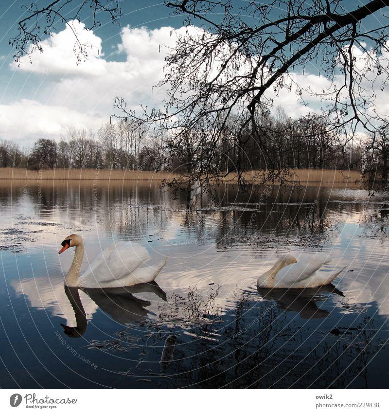 Dahinplätschern Umwelt Natur Landschaft Pflanze Tier Wasser Himmel Wolken Horizont Frühling Baum Sträucher Zweige u. Äste Seeufer Vogel Schwan 2 Tierpaar