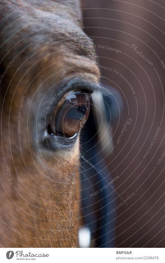 Spiegel der Pferdeseele Sport Reitsport Reiten Tier Haustier Nutztier Pferdeauge Auge Wimpern 1 beobachten Blick authentisch glänzend braun Zufriedenheit