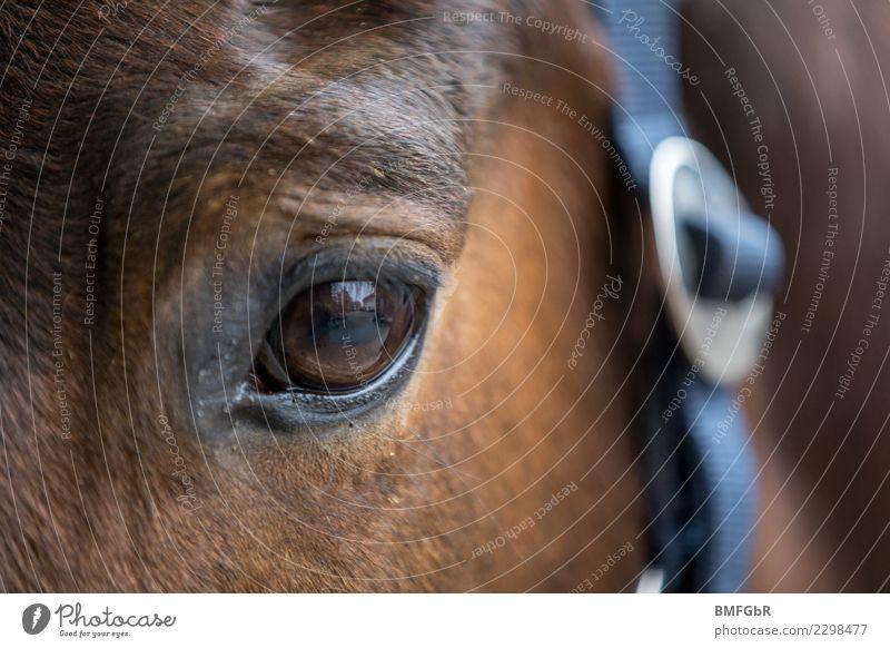 Augenblick Reiten Sport Reitsport Tier Haustier Nutztier Pferd 1 Halfter Zaumzeug beobachten Blick schön braun Zufriedenheit Gelassenheit Detailaufnahme Kopf