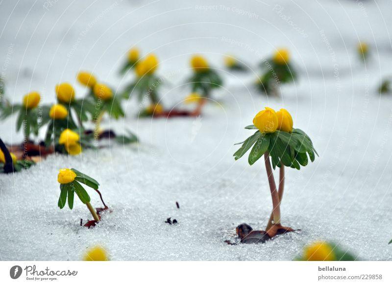 Mädels, für euch! Natur schön Pflanze Winter Schnee Eis Frost Blühend Stengel Blume tauen Frühblüher Winterlinge