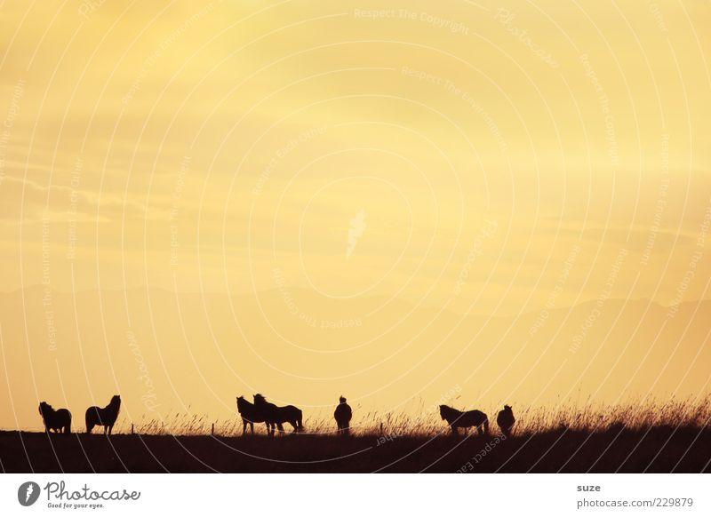 Schattendasein Himmel Gras Tier Pferd Tiergruppe Herde frei Unendlichkeit natürlich schön gelb Stimmung Zusammensein Romantik Island Ponys Weide Abenddämmerung