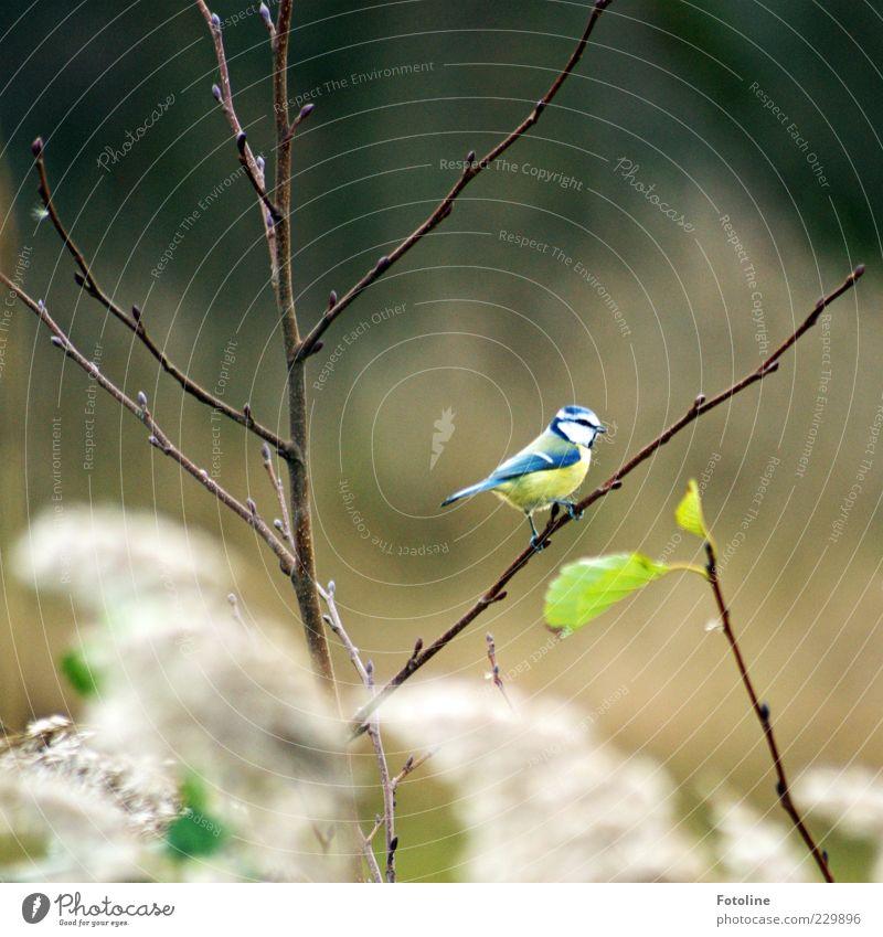 Es tönen die Lieder... Umwelt Natur Pflanze Tier Sträucher Blatt Wildtier Vogel 1 hell natürlich Blaumeise Meisen sitzen Farbfoto mehrfarbig Außenaufnahme Tag