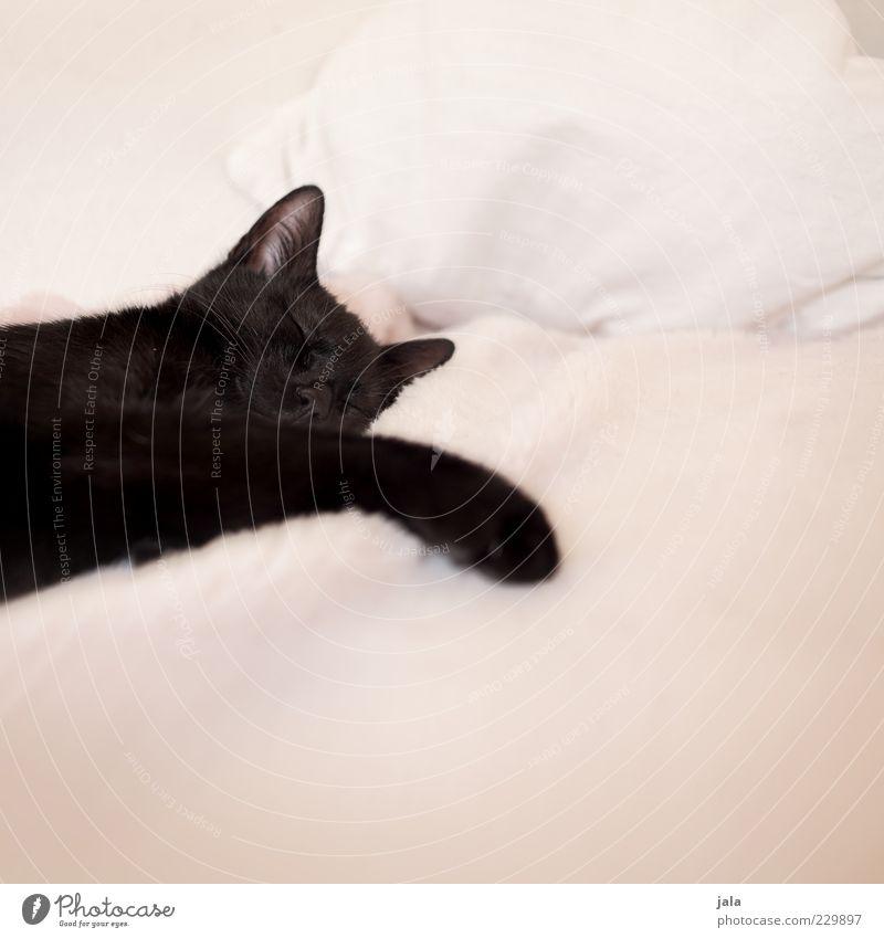 schläferle Tier Katze träumen Tierjunges schlafen Pause niedlich Tiergesicht Fell Pfote Haustier Kissen Bettdecke Schnurrhaar