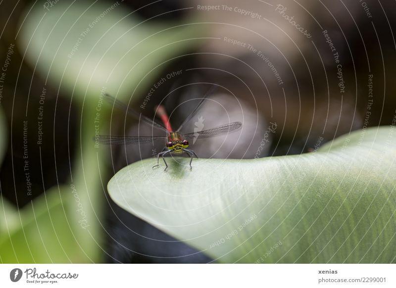 Rote Libelle auf Blatt einer Wasserhyazinthe Sommer grün rot Tier schwarz Frühling Flügel Insekt dünn Teich Tiergesicht Wasserpflanze Hyazinthe Schlanklibelle