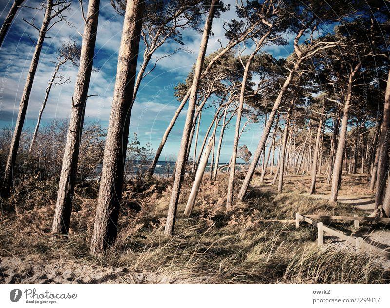 Hoch und schief Umwelt Natur Landschaft Pflanze Himmel Wolken Horizont Herbst Schönes Wetter Wind Baum Sträucher Windflüchter Wald Strand Ostsee Weststrand