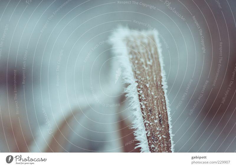 letztes Winterbild diese Saison Natur blau Pflanze Blatt kalt Schnee Gras Eis wild Frost trist gefroren Halm vertrocknet Eiskristall