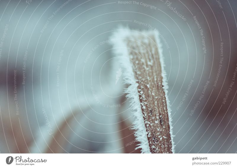 letztes Winterbild diese Saison Natur Pflanze Eis Frost Schnee Gras Blatt kalt trist wild blau Eiskristall Halm gefroren Strukturen & Formen bläulich