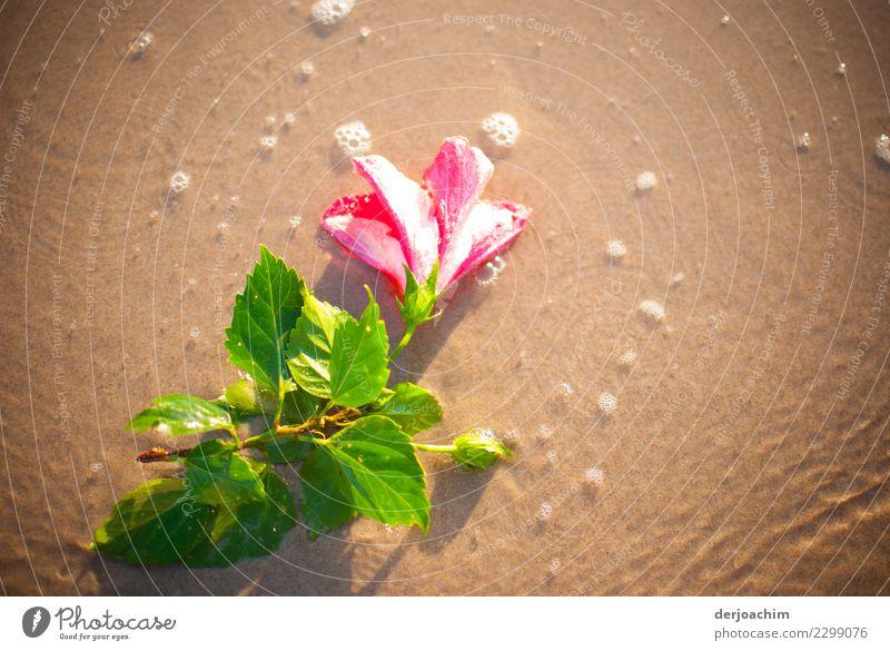 Blume am Strand Pflanze Sommer schön Wasser leuchten authentisch Lächeln genießen Schönes Wetter fantastisch beobachten Neugier entdecken harmonisch