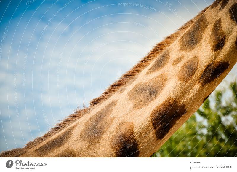 hansguckindieluft5 Umwelt Natur Landschaft Pflanze Tier Schönes Wetter Baum Wildtier Tiergesicht Zoo Giraffe Giraffenhals 1 Rudel beobachten Bewegung