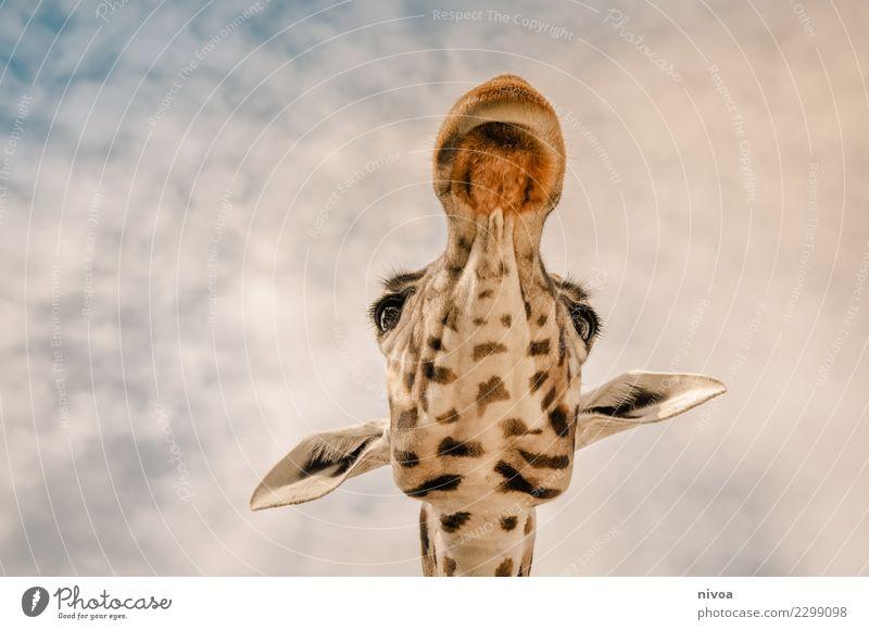 hansguckindieluft7 Umwelt Natur Landschaft Pflanze Tier Schönes Wetter Wildtier Tiergesicht Zoo Giraffe 1 beobachten entdecken authentisch Freundlichkeit