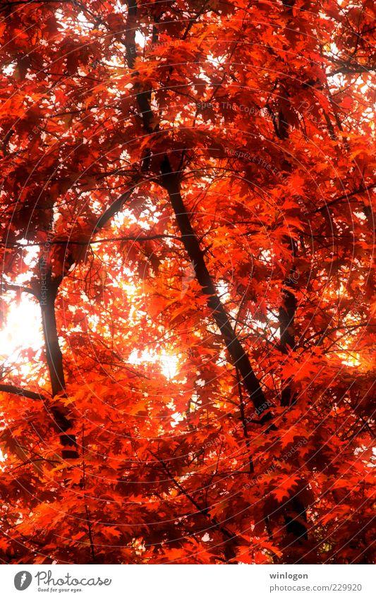 Natur alt schön Baum Pflanze rot Blatt Wald Herbst Umwelt Gefühle Wärme Kunst gold Feuer ästhetisch