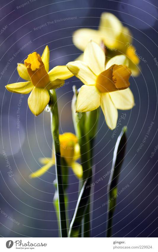 Läuten für Ostern Pflanze Frühling Blume Blüte Narzissen gelb grün Blühend entfalten durchleuchtet Gelbe Narzisse Fleck Blumenstrauß Blütenblatt Stengel