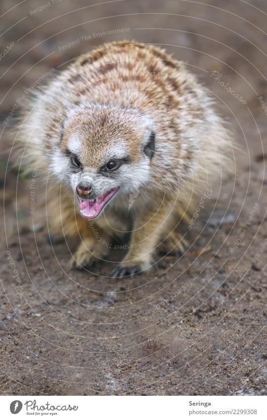 Erdmännchen fletscht die Zähne Tier Wildtier Fell Zoo Tiergesicht Fressen Pfote Krallen Fährte