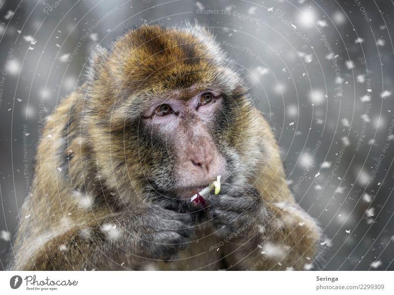 Affenfutter Winter Wetter schlechtes Wetter Schnee Tier Wildtier Tiergesicht Fell Krallen Pfote Fährte Zoo 1 fliegen Blick Schneefall Farbfoto mehrfarbig