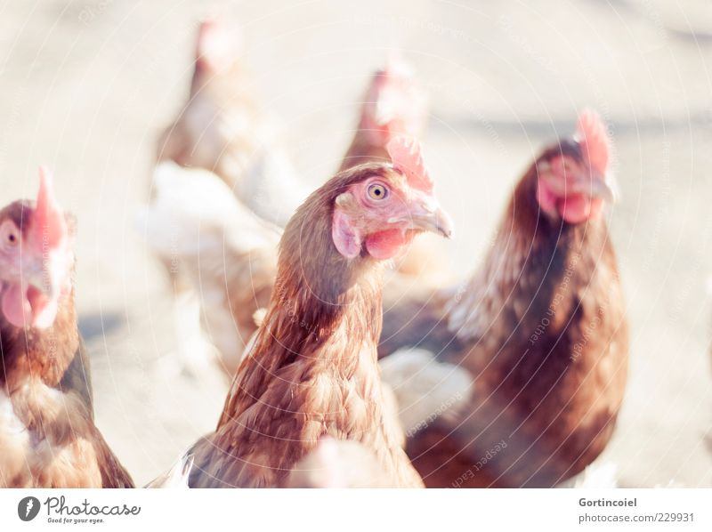 Chicken Tier Nutztier Vogel 3 hell Hühnervögel Kamm Haushuhn Freilandhaltung Bioprodukte Schönes Wetter Bauernhof Federvieh Farbfoto Außenaufnahme Licht