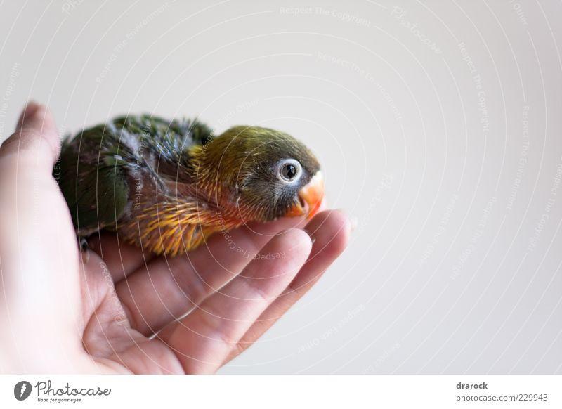 Hand grün rot Tier schwarz gelb orange braun Vogel Zusammensein Finger Flügel niedlich Feder Tiergesicht exotisch
