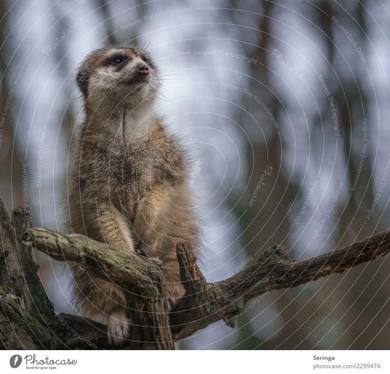 Auf dem Ausguck Tier Wildtier Tiergesicht Fell Krallen Pfote Zoo 1 Blick Erdmännchen Farbfoto Gedeckte Farben mehrfarbig Außenaufnahme Menschenleer