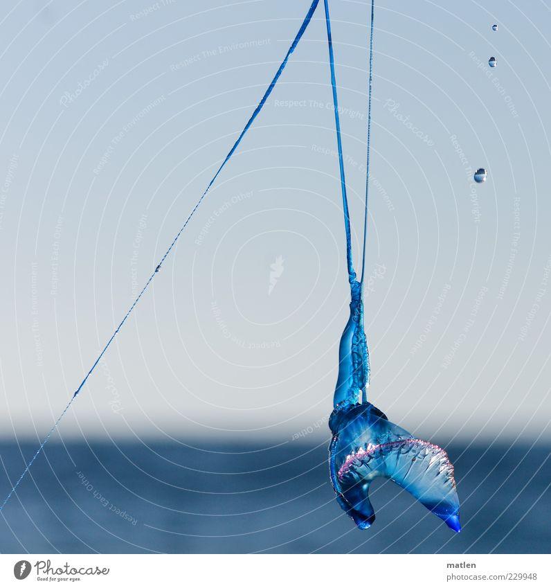Portugiesische Galeere Wasser blau Meer Tier Wassertropfen Glätte Makroaufnahme Meerestier durchleuchtet Octopus