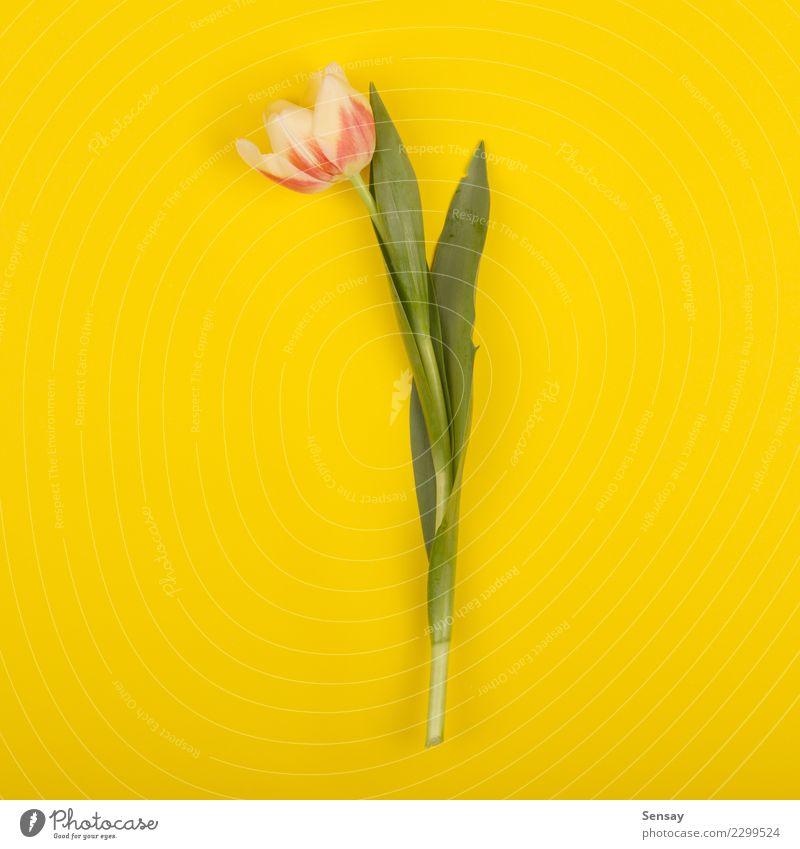 Schöne Tulpe auf gelbem Papier, Draufsicht schön Sommer Dekoration & Verzierung Natur Pflanze Blume Blatt Blüte Wachstum frisch natürlich retro rosa rot
