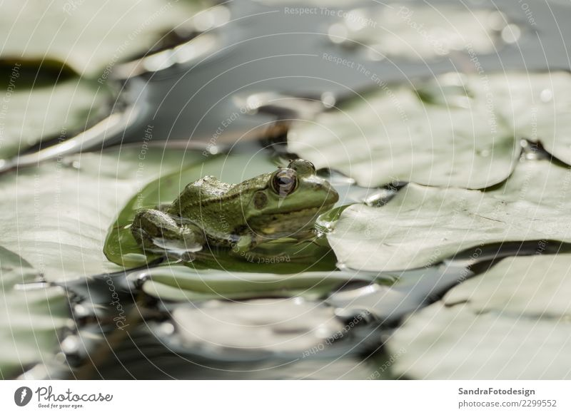 A green frog sitting in the pond full of water lilies Leben Schwimmbad Sommer Umwelt Natur Tier Frühling Blatt Flussufer Moor Sumpf Teich See Bach Wildtier