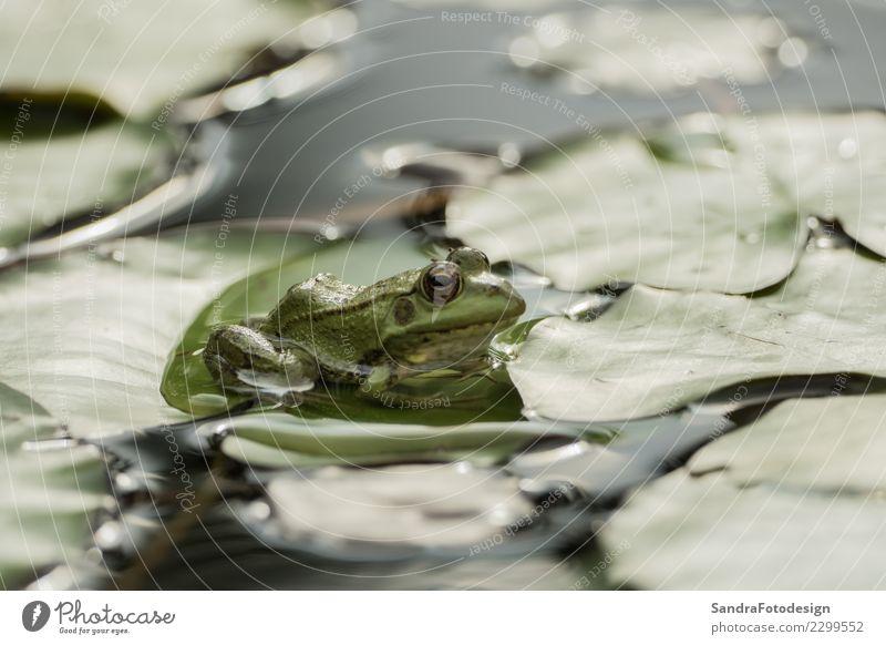 A green frog sitting in the pond full of water lilies Natur Sommer Tier Blatt Freude Leben Umwelt Hintergrundbild Frühling Glück Schwimmen & Baden See