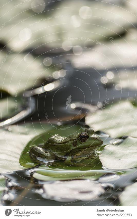 A green frog sitting in the pond full of water lilies Natur Sommer grün Tier Leben Umwelt Hintergrundbild Frühling natürlich Gefühle Glück Schwimmen & Baden See